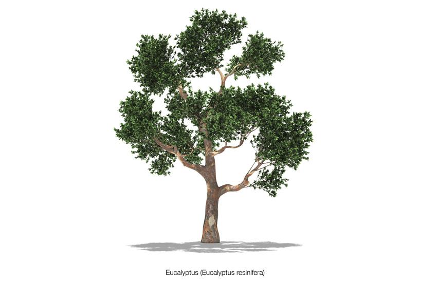 Eukalyptus Resinifera - Red Mahogany